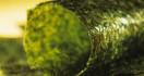 Manfaat Rumput Laut Bagi Kesehatan - JPNN.com