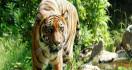 Dua Warga Dempo Diserang Harimau, Satu Orang Tewas, Kondisi Tubuh Tak Utuh - JPNN.com