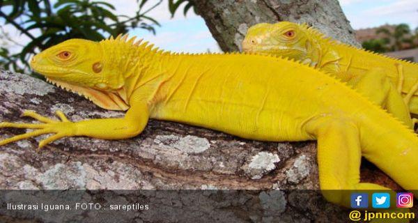 Wow Harga Iguana Albino Bisa Sampai Rp 50 Juta Lifestyle Jpnn