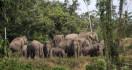 43 Gajah Masuk Kampung, Warga Arul Cincin Terpaksa Mengungsi - JPNN.com