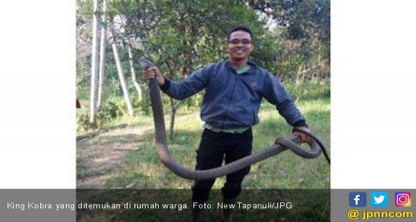 King Kobra Sepanjang Tiga Meter Nangkring di Atas Lemari Warga - JPNN.COM