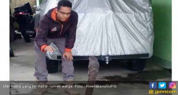 Warga Sibuluan Kembali Dihebohkan King Kobra Sepanjang Tiga Meter - JPNN.COM