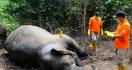 Pembantai Gajah Sumatera Masih Berkeliaran, Ternyata Begini Modusnya - JPNN.com