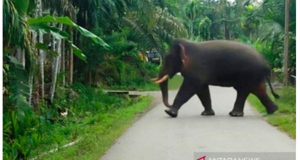 Kelompok Gajah Liar Ngamuk, Serbu Rumah Warga Transmigran - JPNN.COM