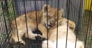 Bayi Singa Afrika, Leopard dan Kura-kura Indiana Star Gagal Diselundupkan - JPNN.com