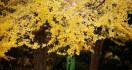Peneliti Ungkap Rahasia Pohon Ginkgo Bisa Hidup Ribuan Tahun - JPNN.com
