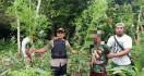 Polisi Temukan Ladang Ganja Seluas Satu Hektare di Waris Keerom - JPNN.com