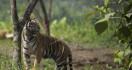 Polisi Bongkar Kasus Perdagangan Kulit Harimau Sumatera di Riau - JPNN.com