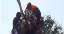 Kakek Pingsan di Atas Pohon Setinggi 11 Meter, Warga Kebingungan - JPNN.com