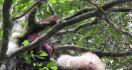 Alba si Orang Utan Albino dan Unyu Akhirnya Reunian di Hutan - JPNN.com