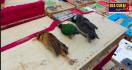 Buset! Ada yang yang Menyelundupkan Ayam Hidup senilai Rp 8 Miliar - JPNN.com