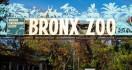 Kasus Unik, Harimau Positif Corona, Tertulari dari Karyawan Kebun Binatang - JPNN.com